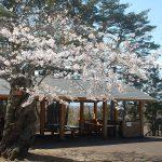 香雪園の桜を見に行ってきた